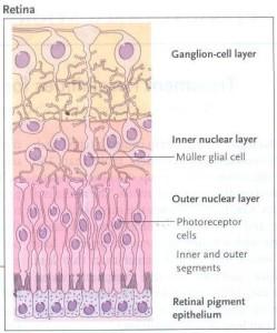 Εικόνα 2. Οι κυτταρικές στοιβάδες και τα 5 είδη νευρικών κυττάρων του αμφιβληστροειδούς.
