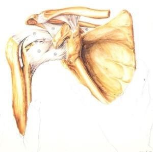 Εικόνα 3. Το βραχιόνιο οστό όπου καταφύεται ο πλατύς ραχιαίος. Διακρίνονται πολλοί τένοντες στην κατ' ώμο άρθρωση (Από την ανατομία του Grant) [4].